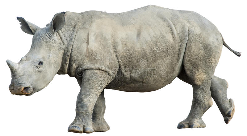 Isolated young Rhino. Side view of a young white rhino isolated on a white background royalty free stock photography