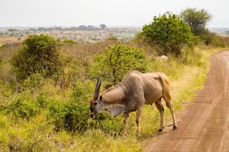 Isolaten för elandet för Patterson ` s i Nairobi parkerar royaltyfri bild