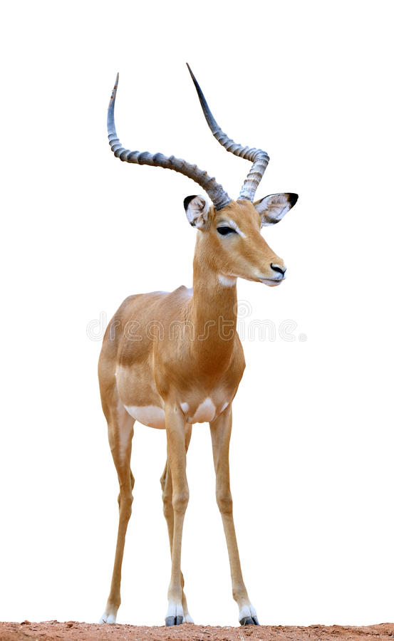 Isolaterd del impala en el fondo blanco fotografía de archivo libre de regalías