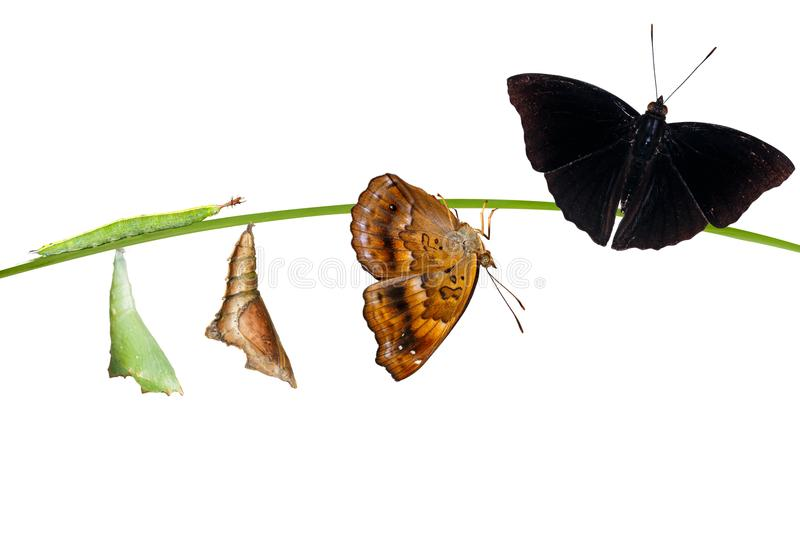 Isolatetd transformation from caterpillar and chrysalis of male. Isolated transformation from caterpillar and chrysalis of male siamese black prince butterfly stock photography
