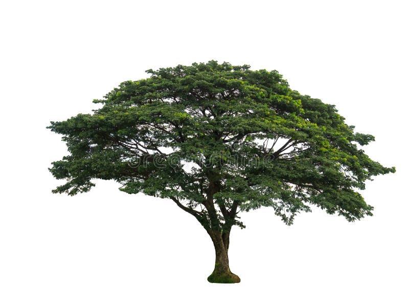 Isolatie grote bomen op witte achtergrond royalty-vrije stock foto's