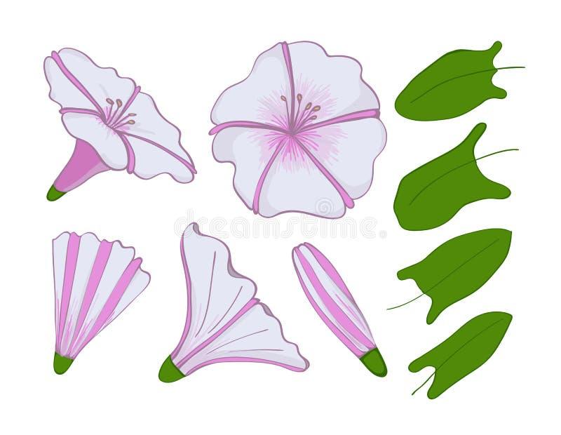 Isolatieelementen van witte en roze winde bloemen, knoppen en bladeren van ochtend-glorie Vastgestelde winde royalty-vrije illustratie