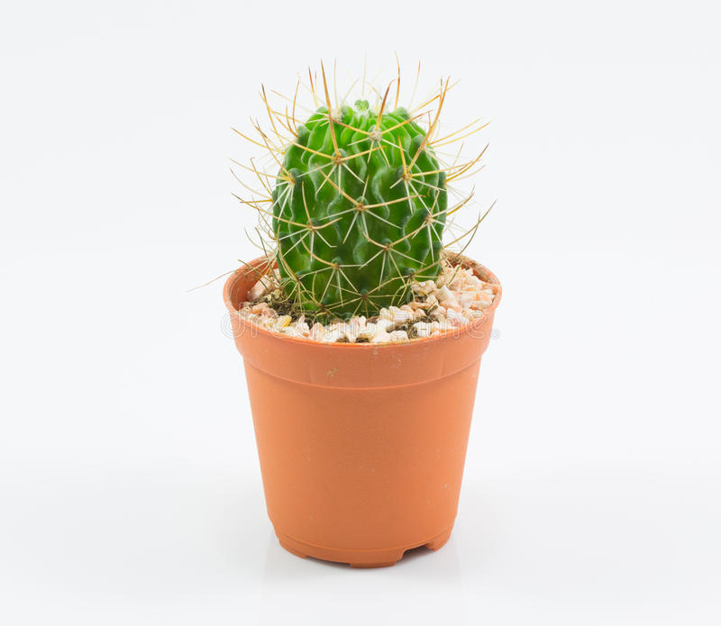 Isolation cactus. And white background royalty free stock image