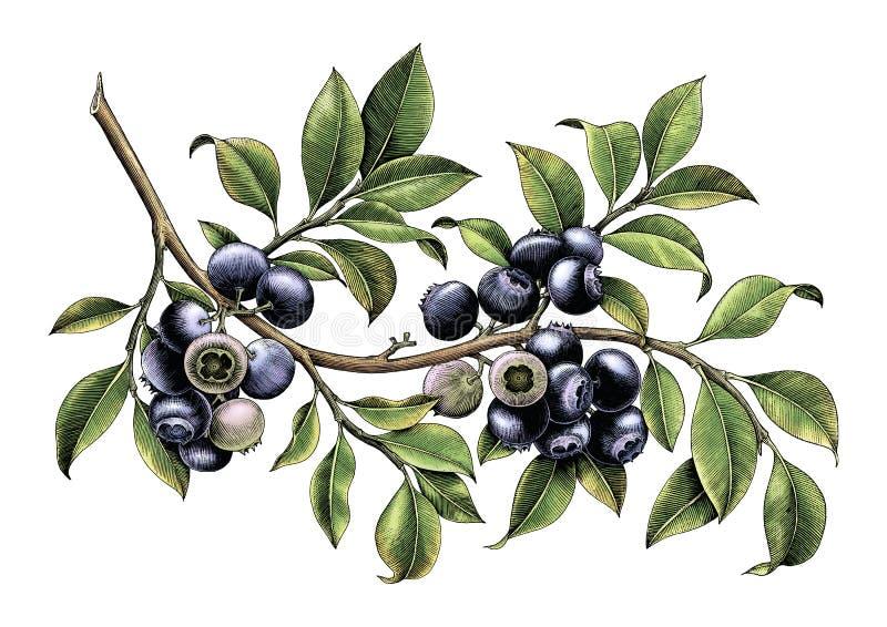 Isolato d'annata di clipart del disegno della mano del ramo del mirtillo su bianco royalty illustrazione gratis