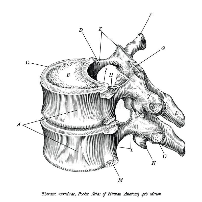 Isolato d'annata di clipart dell'illustrazione di anatomia toracica delle vertebre illustrazione di stock