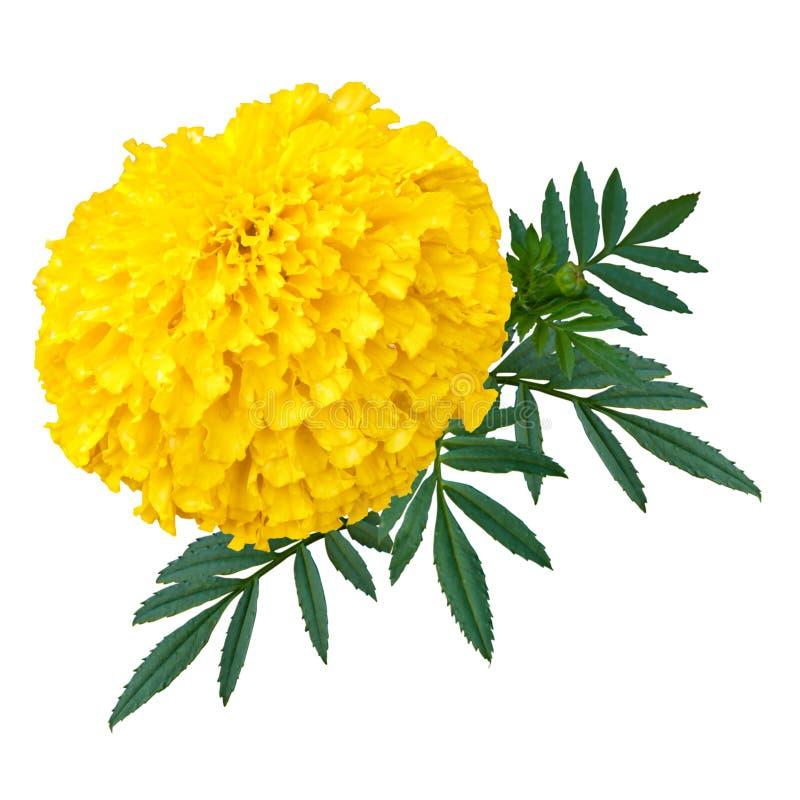 Isolato del fiore della calendula o del tagete su fondo bianco immagini stock libere da diritti