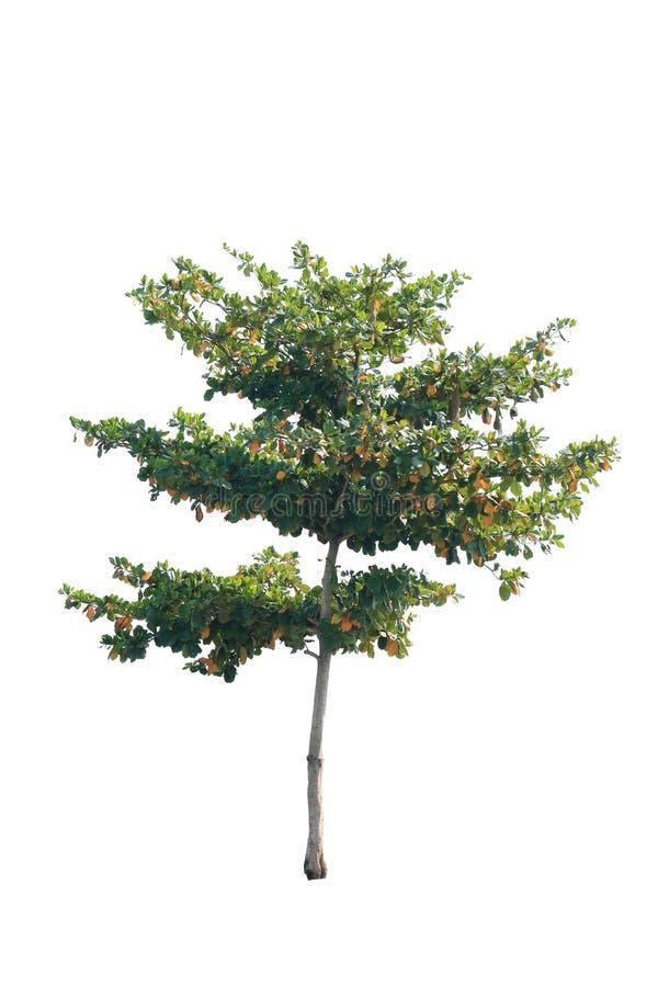 Isolato dell'albero su fondo bianco fotografie stock