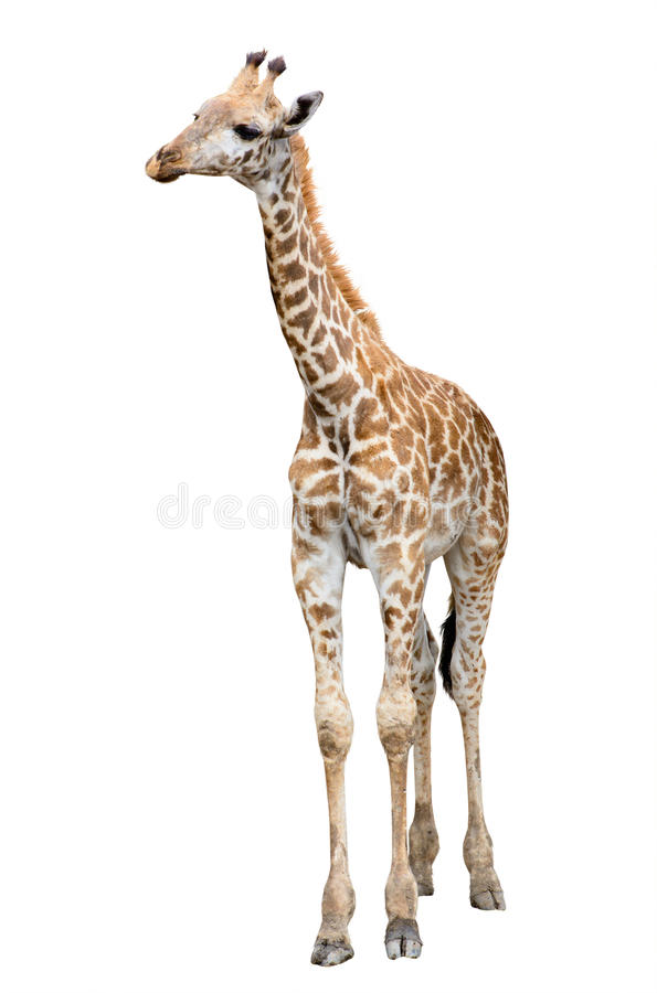 Isolato della giraffa fotografia stock