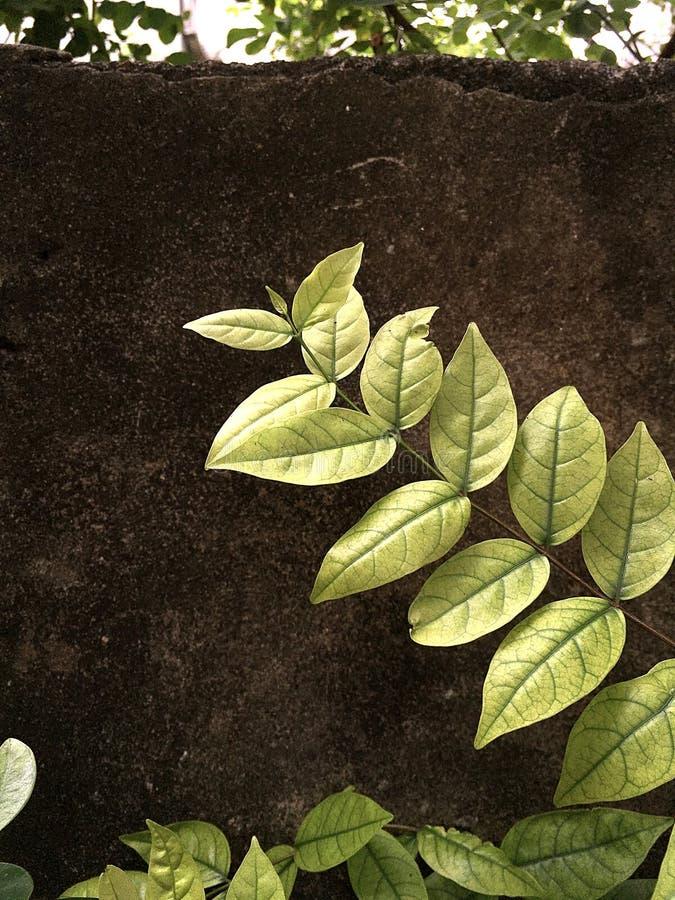 Isolato delle foglie del ramo sul muro di cemento immagini stock libere da diritti