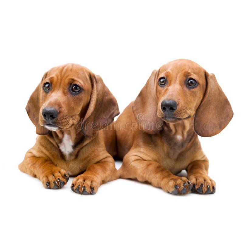 Isolato due cuccioli/che si siedono del bassotto tedesco immagini stock