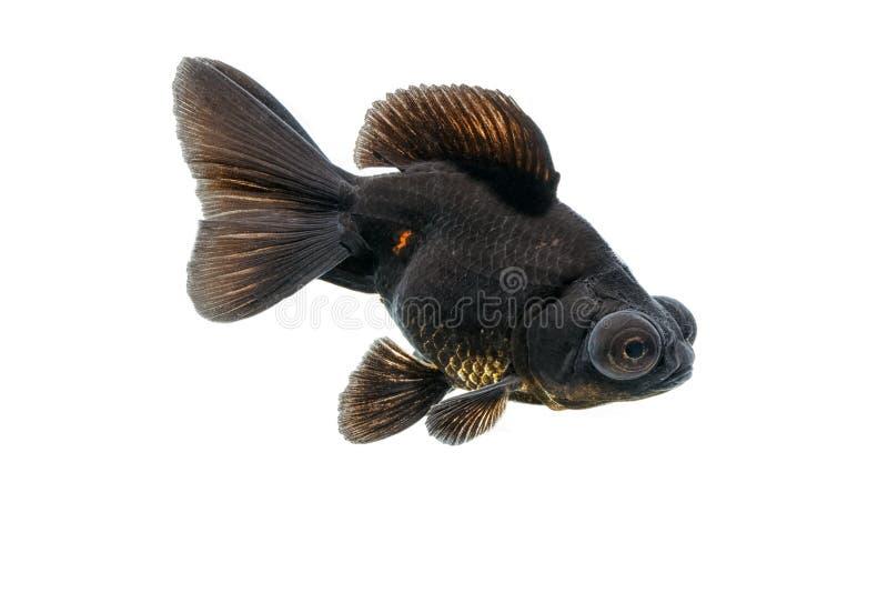 Isolato nero del pesce rosso su bianco fotografia stock libera da diritti