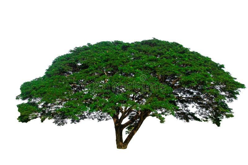 Isolato su fondo bianco di grande albero usato per progettare o della decorazione immagini stock