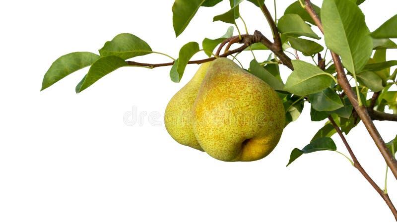 Isolato su un ramo bianco della pera del fondo con i frutti e la macro del primo piano delle foglie Copi lo spazio fotografia stock