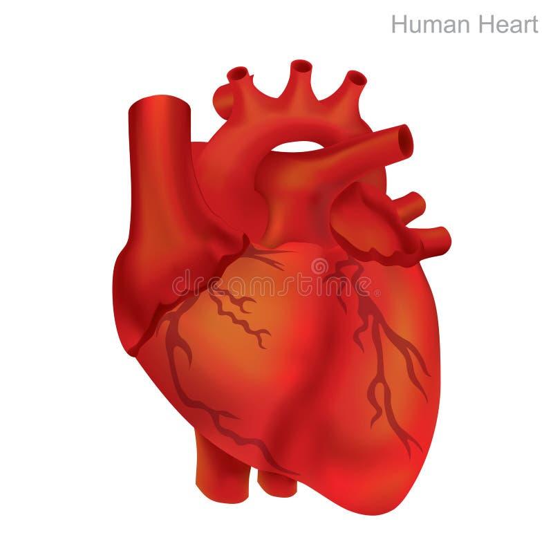 Isolato umano del cuore L'angioplastica è una procedura endovascolare per allargare le arterie o le vene restrette o ostruite, ti illustrazione di stock