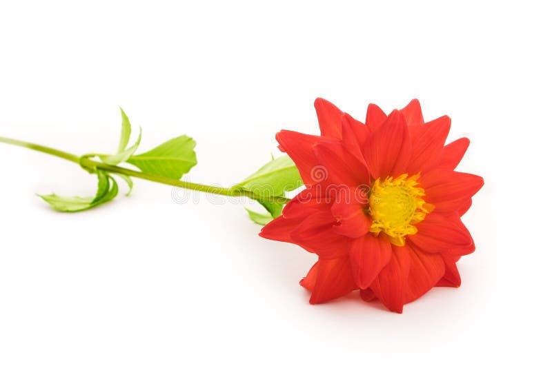 Isolatrd de fleur sur le blanc image libre de droits