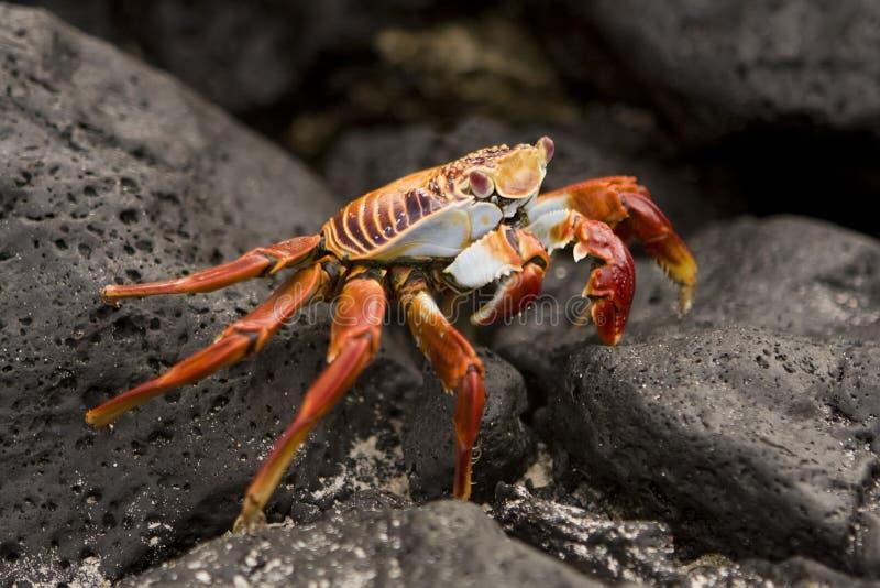 Isole di Galapagos del granchio della Sally Lightfoot fotografie stock