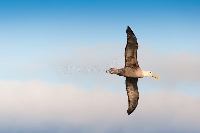 Isole Galapagos ondeggiate volanti dell'albatro fotografie stock libere da diritti
