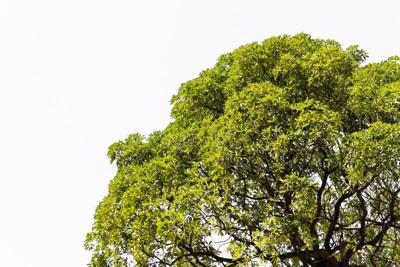 Isoleer boom in Azië. stock afbeeldingen