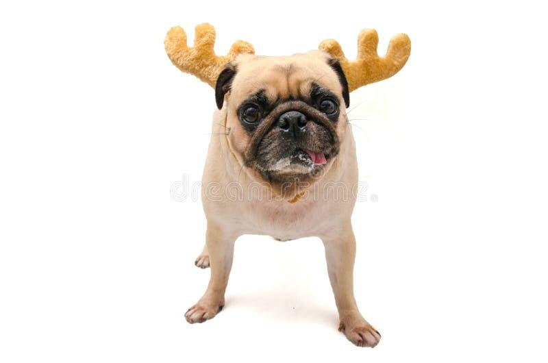 Isoleer close-upgezicht van puppypug hond die Rendiergeweitakken voor partij van het Kerstmis de nieuwe jaar dragen royalty-vrije stock afbeelding