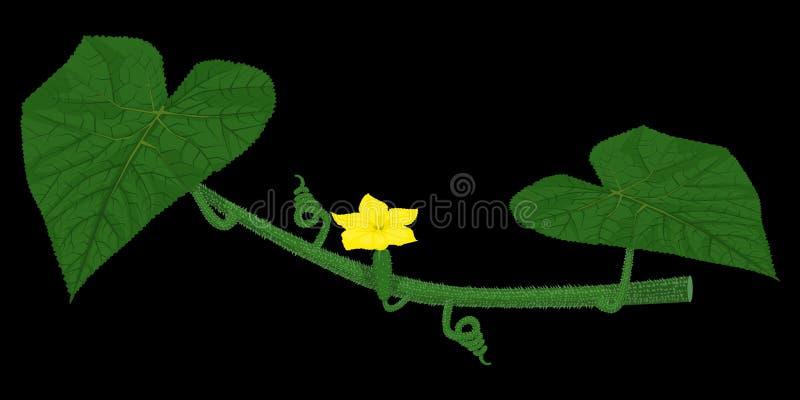 Isoleer kleine komkommer op stam royalty-vrije illustratie