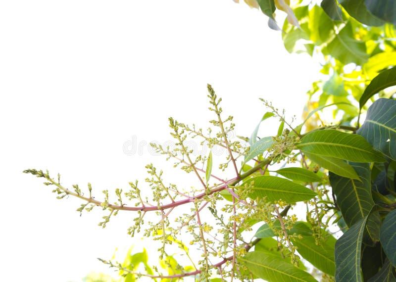 Isoleer mangobloemen royalty-vrije stock afbeeldingen