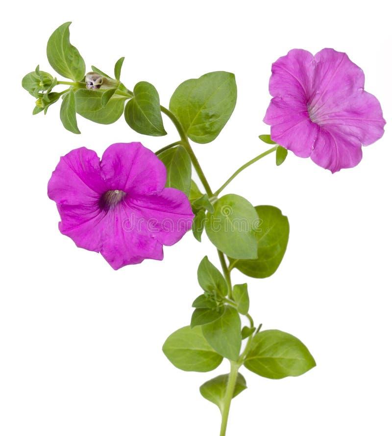 Isoleer petunia stock foto