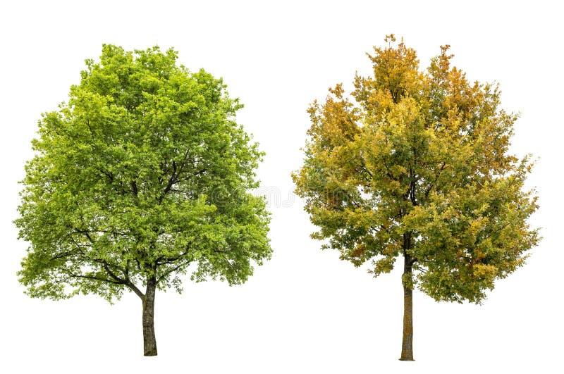 Isoleerde de de herfst eiken boom van de de lentezomer witte achtergrond royalty-vrije stock afbeelding