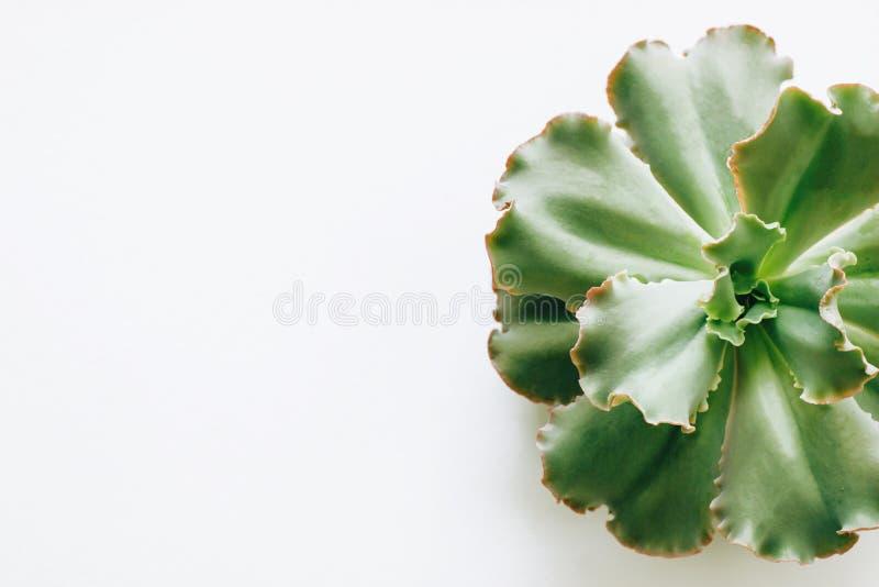 Isoleerde de groene succulente installaties op een witte achtergrond stock afbeelding
