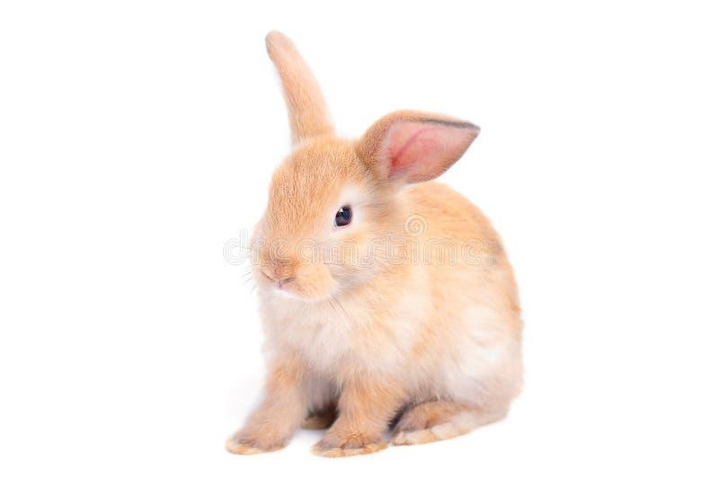 Isoleerde weinig bruin aanbiddelijk konijnkonijntje op witte achtergrond met sommige acties stock foto's