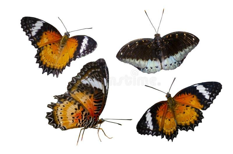 Isoleert de de vlekken oranjegele witte achtergrond van de inzamelingsvlinder stock foto's