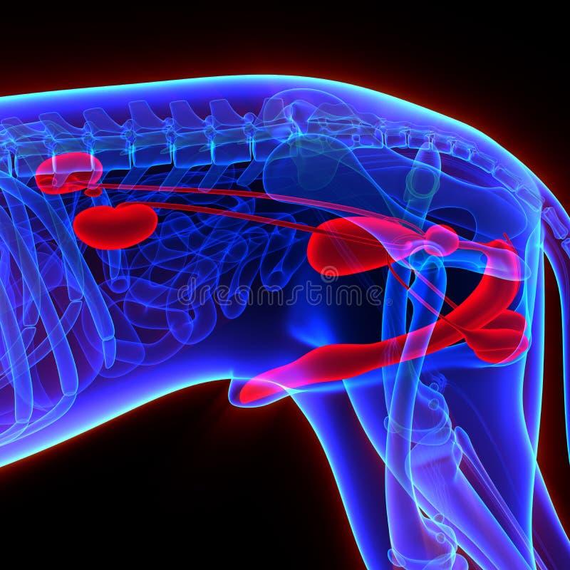 Isoleert het hond Urogenitale Systeem - Canis Lupus Familiaris Anatomy - vector illustratie