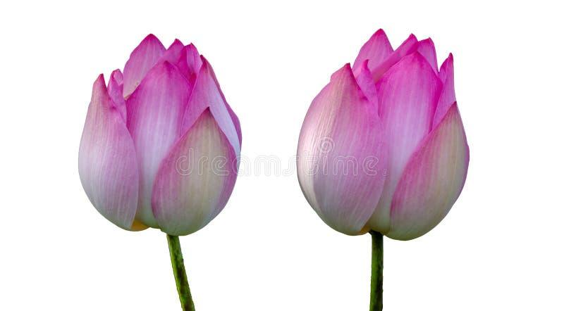 Isoleert het koninklijke Roze van Lotus Witte achtergrond royalty-vrije stock afbeeldingen