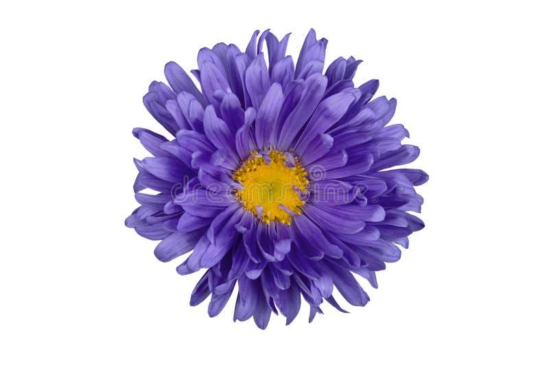Isolement fleuri d'aster sur un fond blanc Fleur bleue pour des concepteurs photos stock