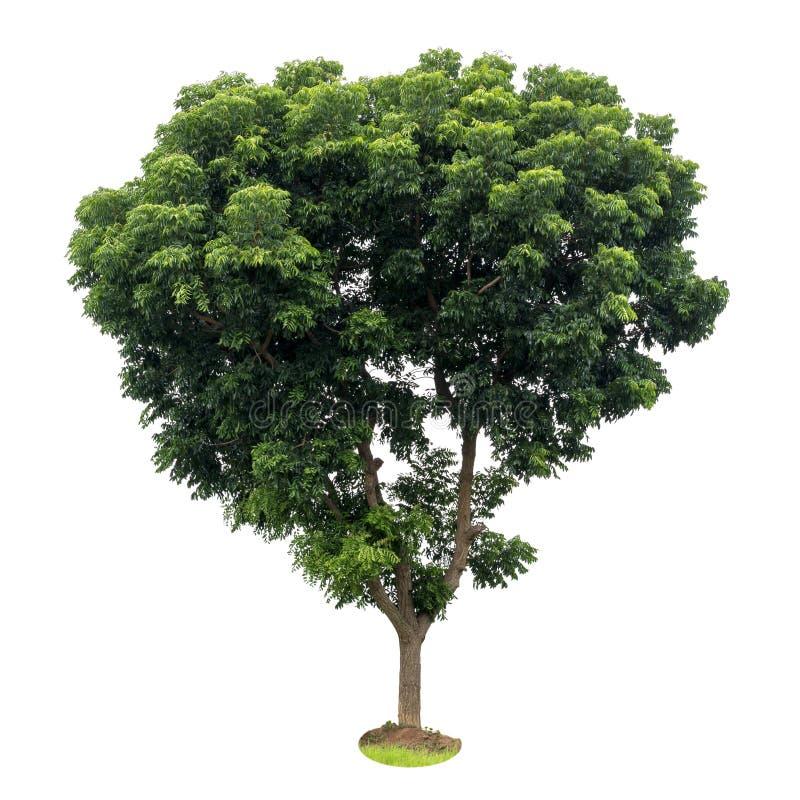 Isolera sidorna för neemträdet, grönt fertilt royaltyfria foton
