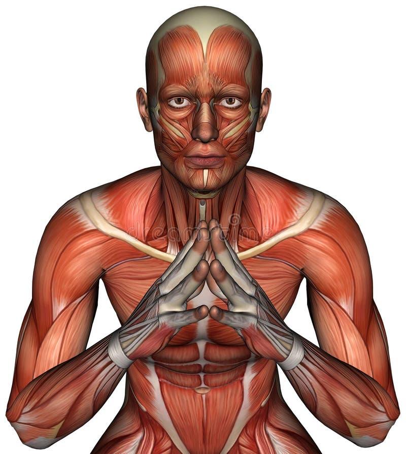 Isolerad anatomi för muskelöversiktsman royaltyfri illustrationer