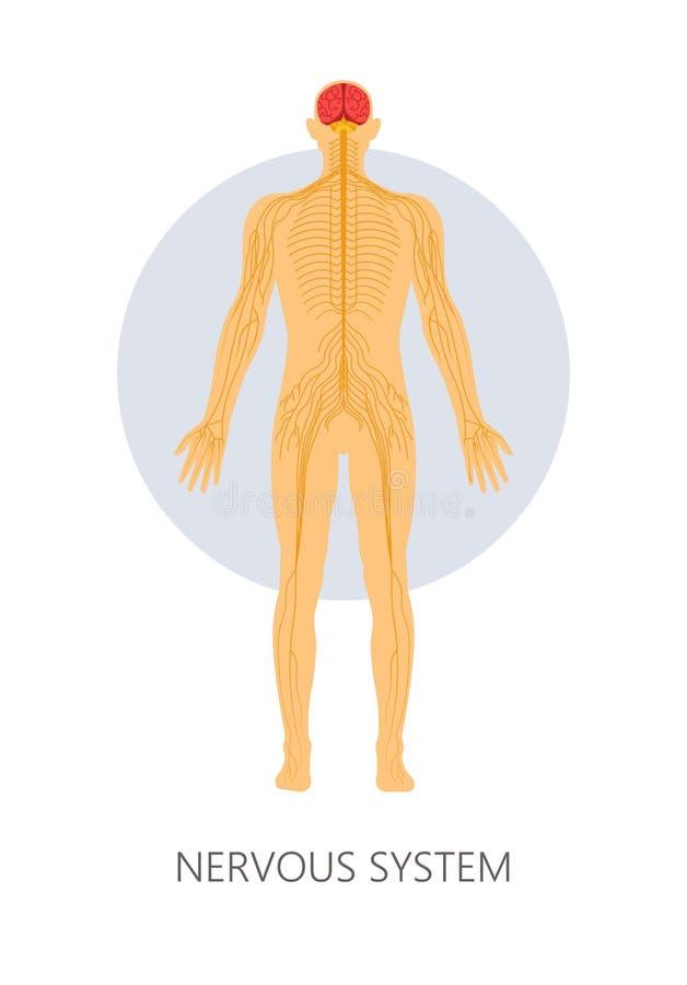 Isolerad anatomi för nervsystemhjärn- och nervändelser royaltyfri illustrationer