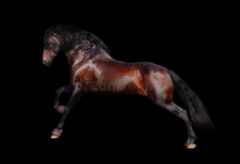 isolerad andalusian häst royaltyfri foto