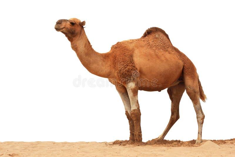 Isolerad arabisk kamel royaltyfri bild