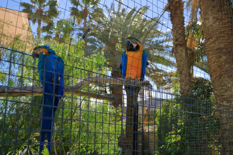 Isolerad arapapegoja i en bur, fångenskap arkivbilder