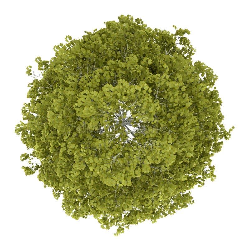 Isolerad bästa sikt av björkträdet royaltyfri illustrationer
