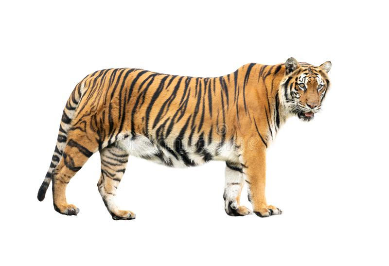Isolerad Bengal tiger royaltyfri bild