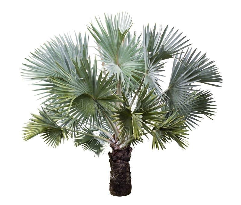 Isolerad Bismarck palmträd royaltyfri fotografi