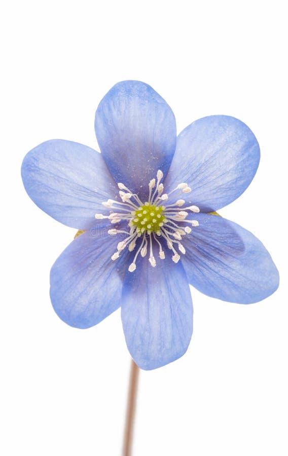 isolerad blå blomma arkivbilder