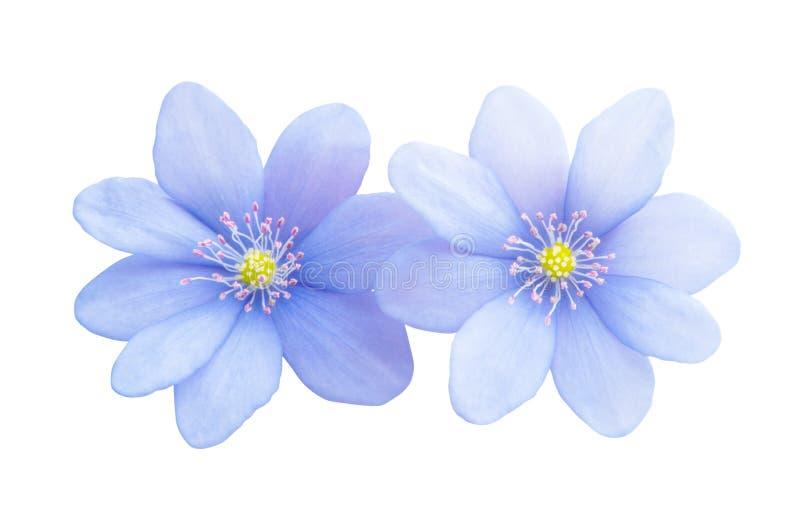 isolerad blå blomma arkivfoto
