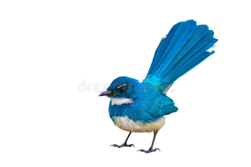Isolerad blå fågel royaltyfria bilder