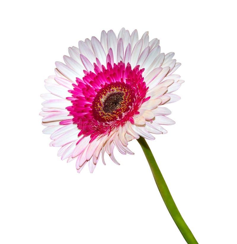 isolerad blommagerbera royaltyfria foton