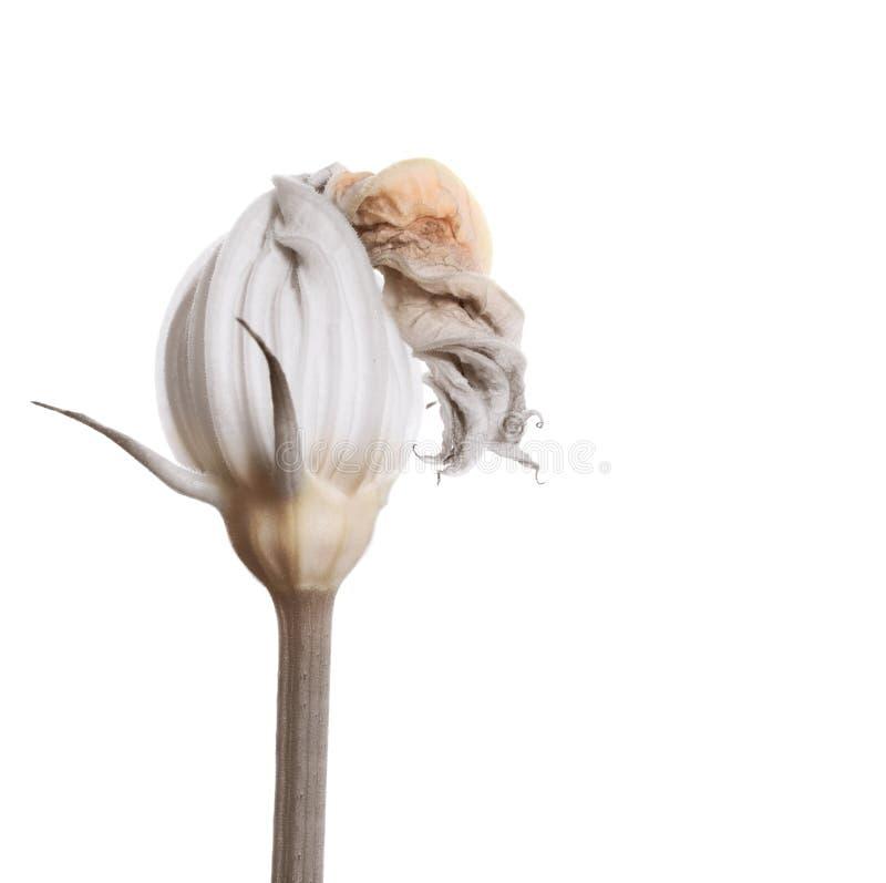 Isolerad blomning för zucchini blomma royaltyfria foton