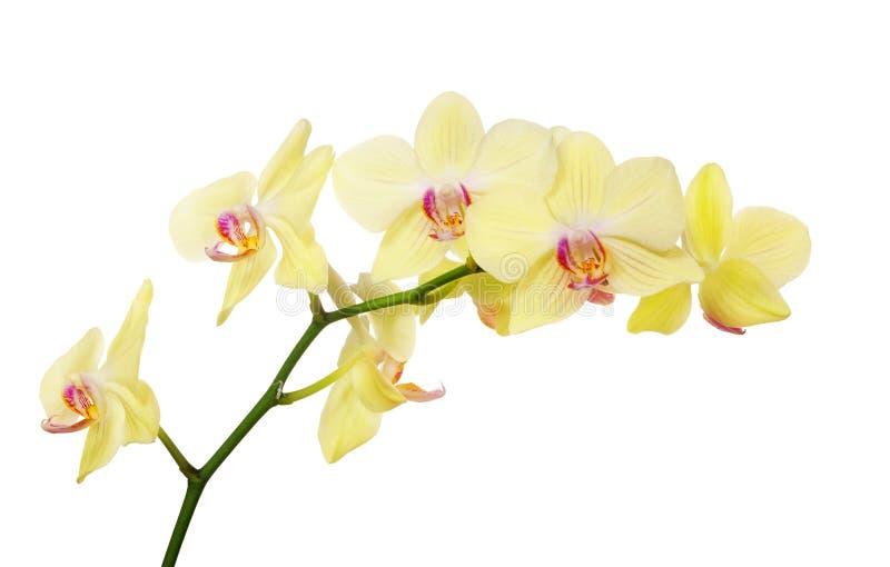 Isolerad citron - gul orchidfilial royaltyfri bild