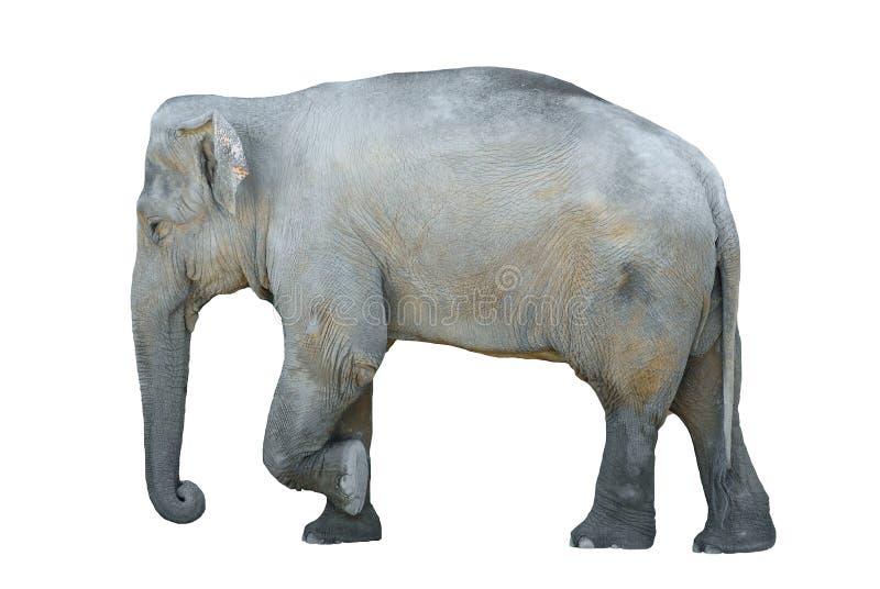 isolerad elefant royaltyfri illustrationer