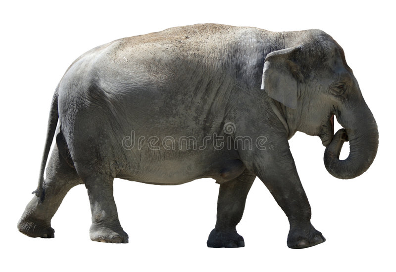 isolerad elefant royaltyfria bilder